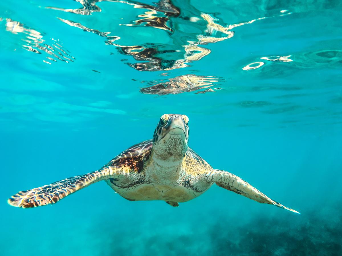 Tortoise could swim faster than walking